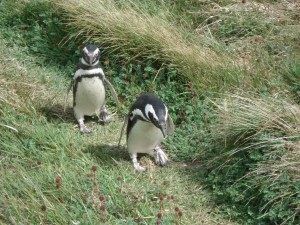 Penguins at a penguin reserve.