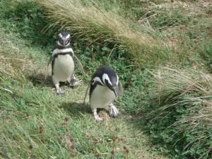 Penguins at a penguin reserve.