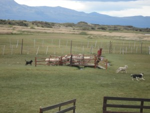 Sheep dog demonstration.