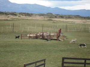 Sheep dog demonstration.